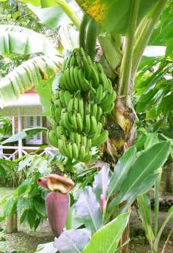 pisang