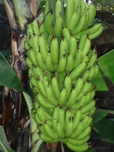 pisangTandan
