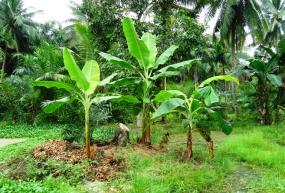 rumpun pisang